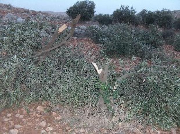 <p>[9416] 6  Settlers cut some thirty olive trees near Susiya, 5 December 2007.</p><p>Photo credit: Oren Yakabovich, B'Tselem</p>